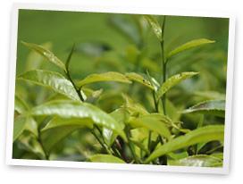 茶摘み・摘み取り